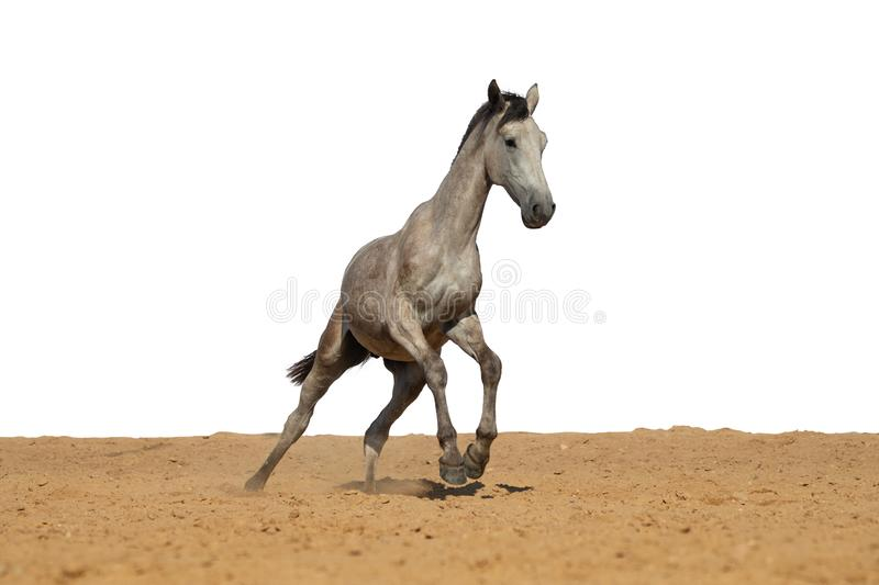 Horse jumps on sand on a white background. Brown and black horse galloping on sand on a white background, without people.nn stock photography