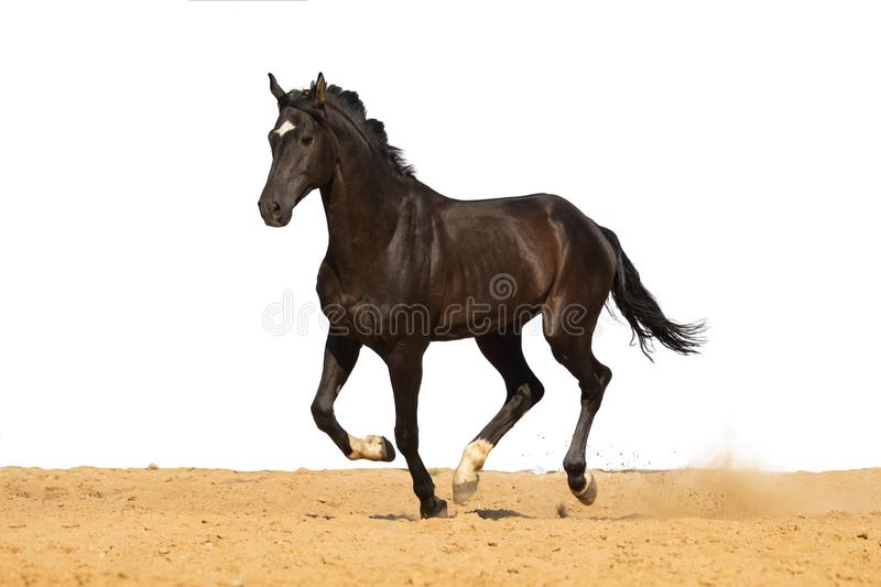Horse jumps on sand on a white background. Brown and black horse galloping on sand on a white background, without people.nn royalty free stock image
