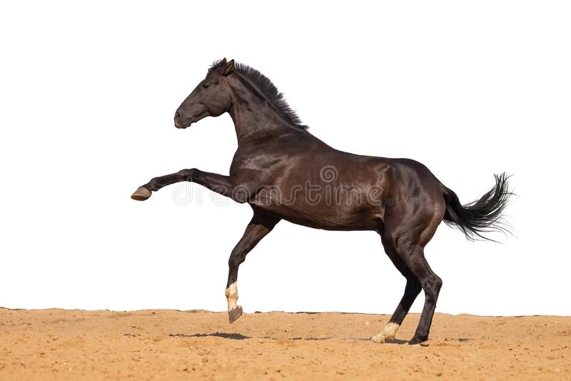 Horse jumps on sand on a white background stock photo