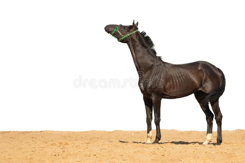 Horse jumps on sand on a white background. Brown and black horse galloping on sand on a white background, without people.nn stock photo