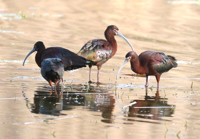 3 Brown And Black Long Beak Bird Eating On Body Of Water During Daytime Free Public Domain Cc0 Image