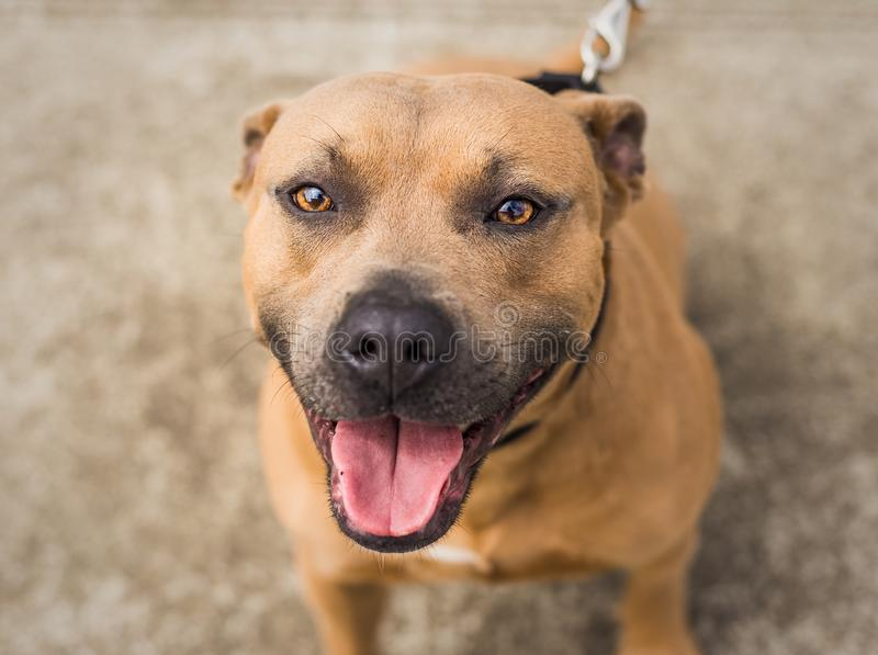 Brown and black Pit Bull or Staffordshire Terrier mix dog stock image