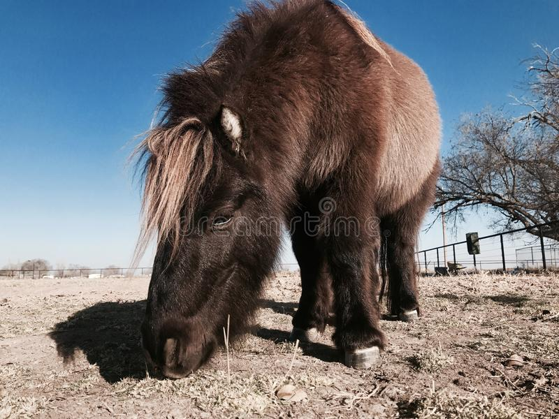 Brown and Black Pony Eating Grasses royalty free stock photography
