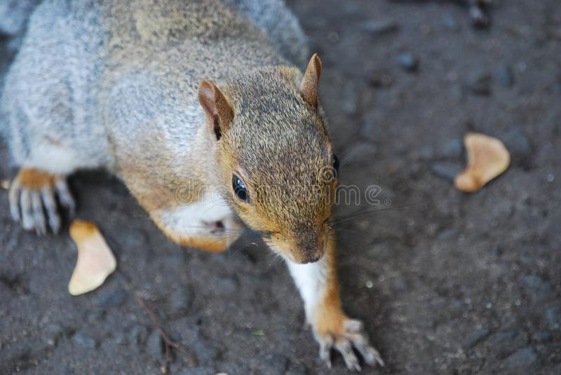 Brown and Black Squirrel royalty free stock photo