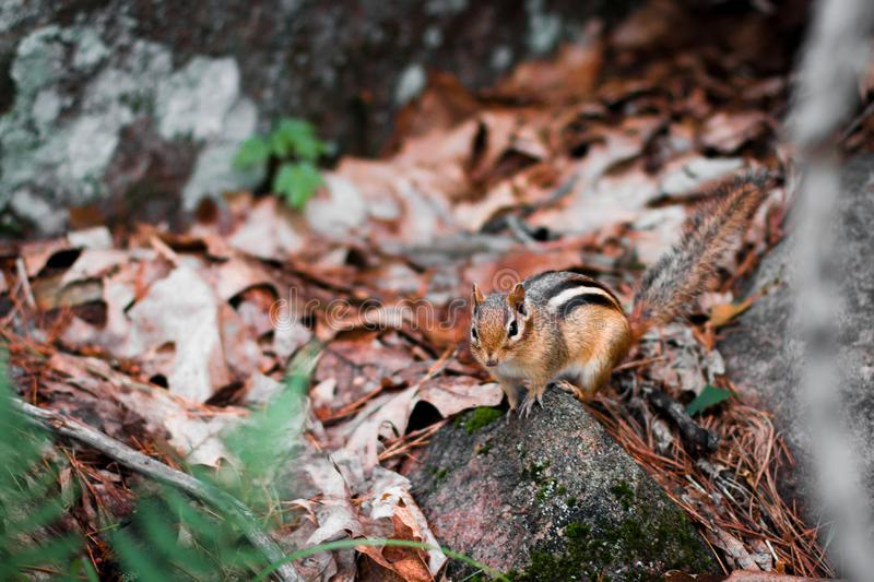 Brown and Black Squirrel on Gray Rock stock photos