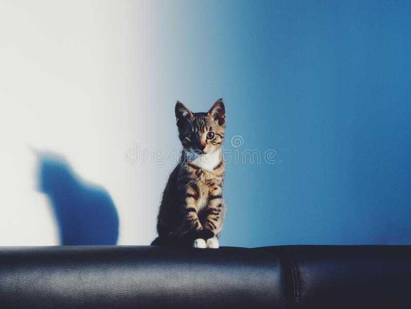 Brown and Black Tabby Cat on Black Leather Textile With Black Shadow royalty free stock image