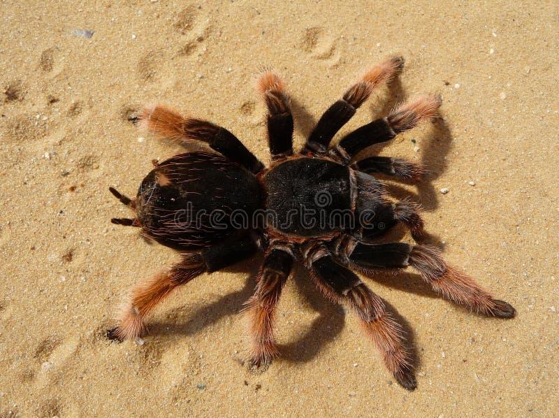 Brown And Black Tarantula Free Public Domain Cc0 Image