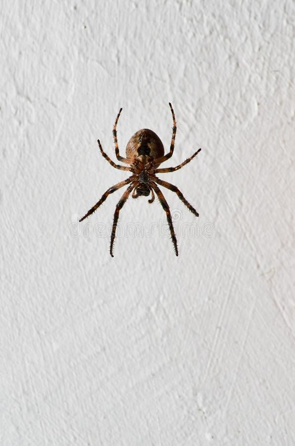 Brown and black textured spider. Hanging upside down against rough white wall royalty free stock photos
