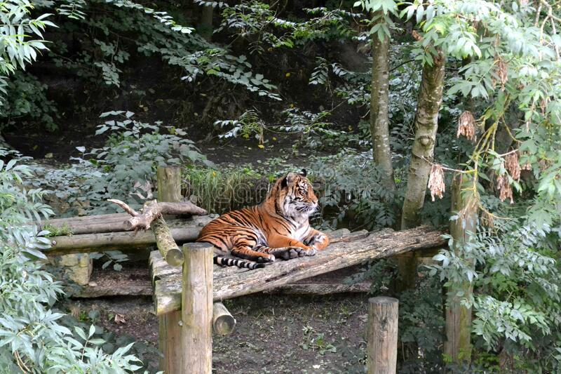 Brown and Black Tiger Sitting on Brown Wooden Table during Daytime stock images