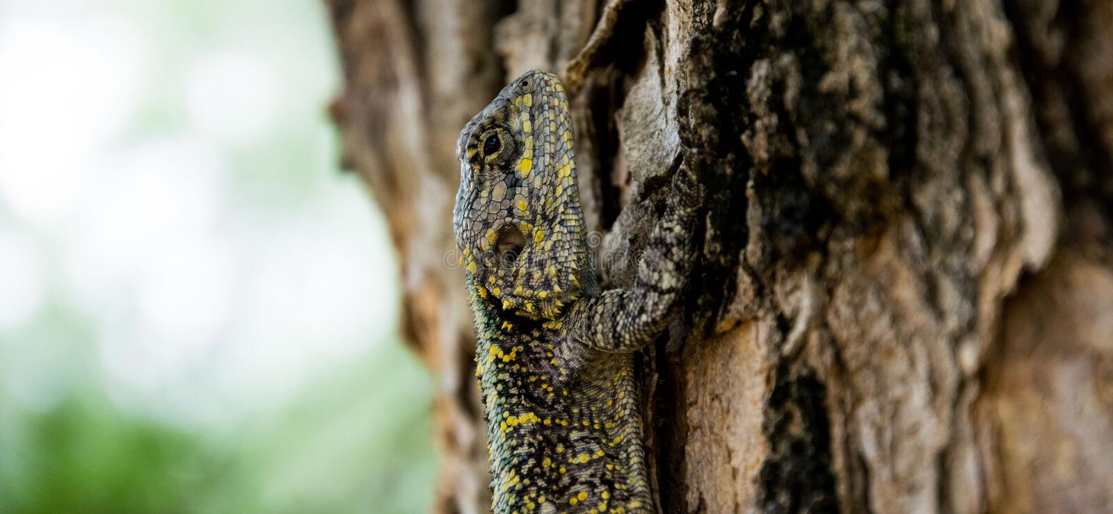 Brown Black Yellow Beige Lizard Climbing on Brown Tree royalty free stock images
