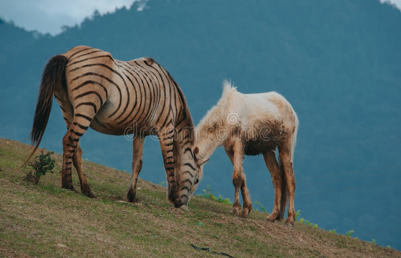 Brown and Black Zebra Beside White Horse royalty free stock photos