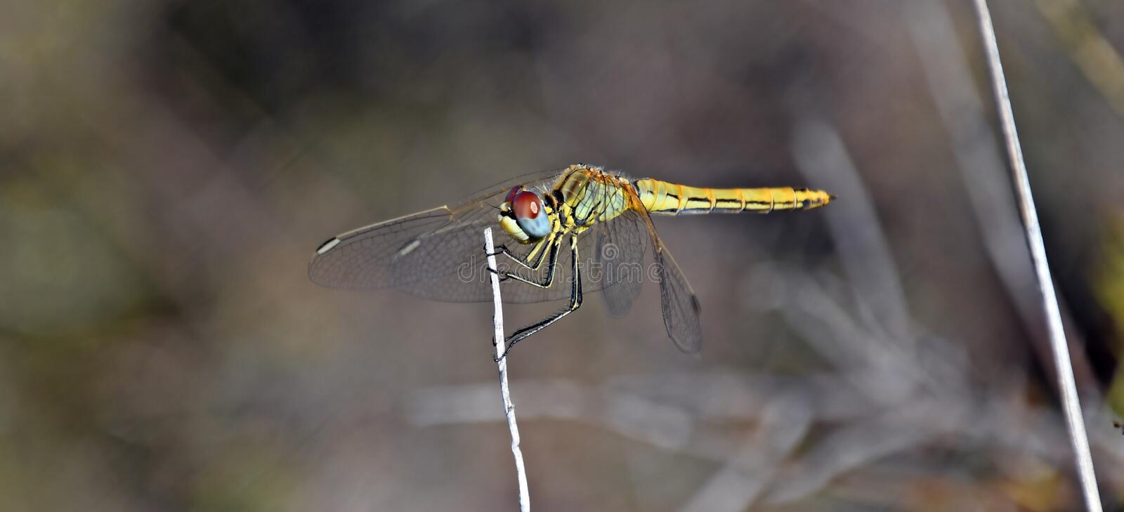 Brown blurred background with a colored dragonfly royalty free stock image