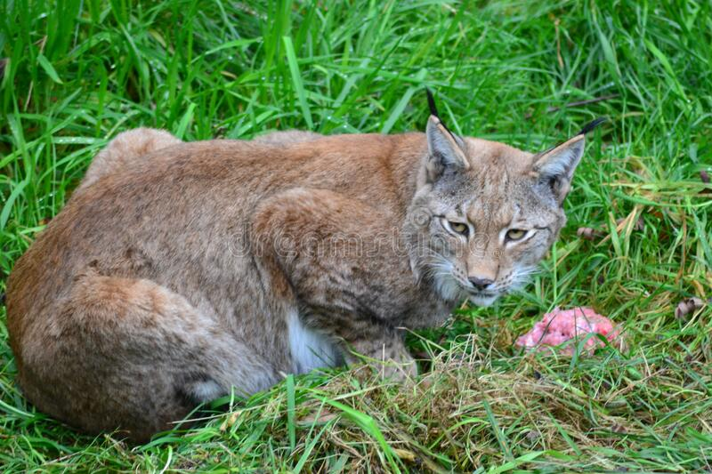 Brown Bobcat On Green Grass Free Public Domain Cc0 Image