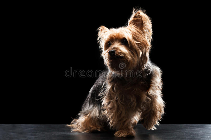 Brown bonito Yorkie Mutt Playing de seda imagem de stock royalty free