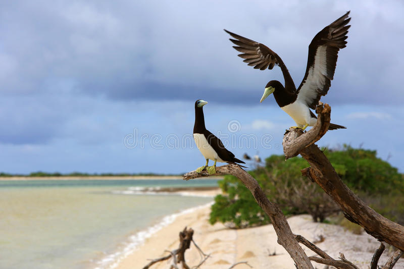 Brown Booby Couple stock images