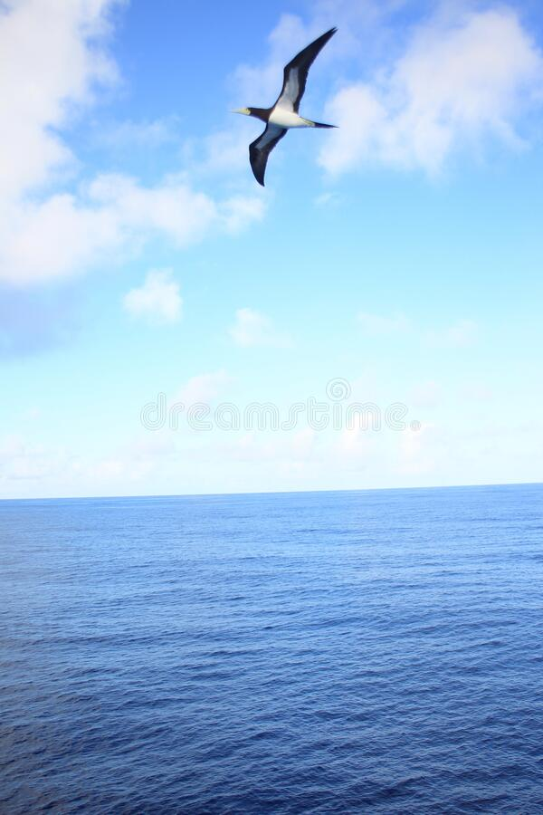 Brown booby flying over sky in Japan. Brown booby Sula leucogaster in Japan royalty free stock photo