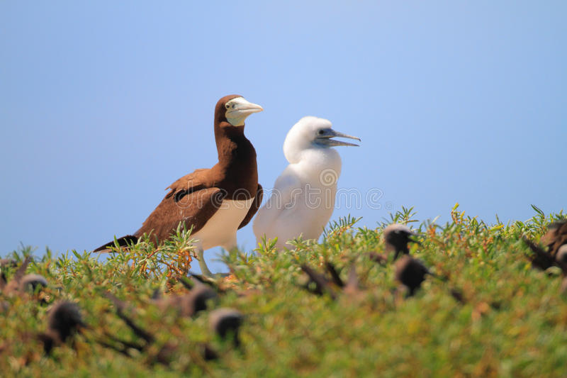 Brown Booby. (Sula leucogaster) in Japan stock images