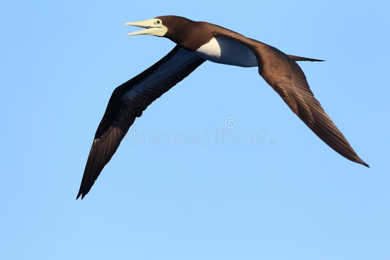 Brown booby flying over sky in Japan. Brown booby Sula leucogaster in Japan stock photos