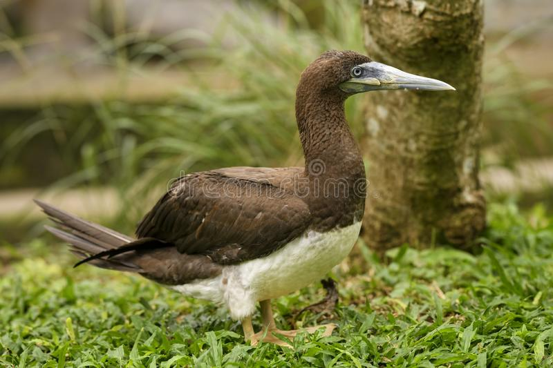 Brown Booby - Sula leucogaster. Large gannet from Southeast Asian sea and ocean coasts stock image