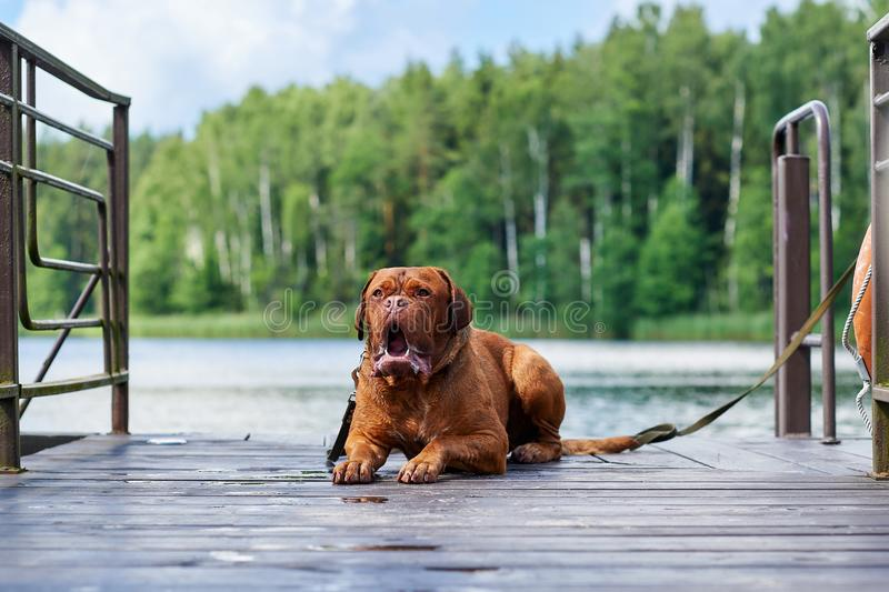 Brown Bordeaux dog sits on the bridge. Light brown Bordeaux dog is waiting for the owner on wood bridge royalty free stock photography