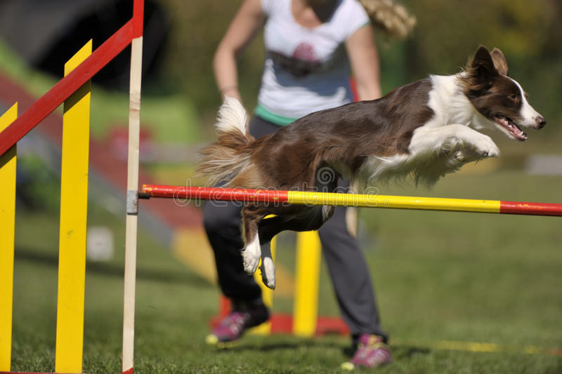 Brown border collie on agility course, over the jump hurdle. Beautiful brown border collie on agility course, over the jump hurdle stock images