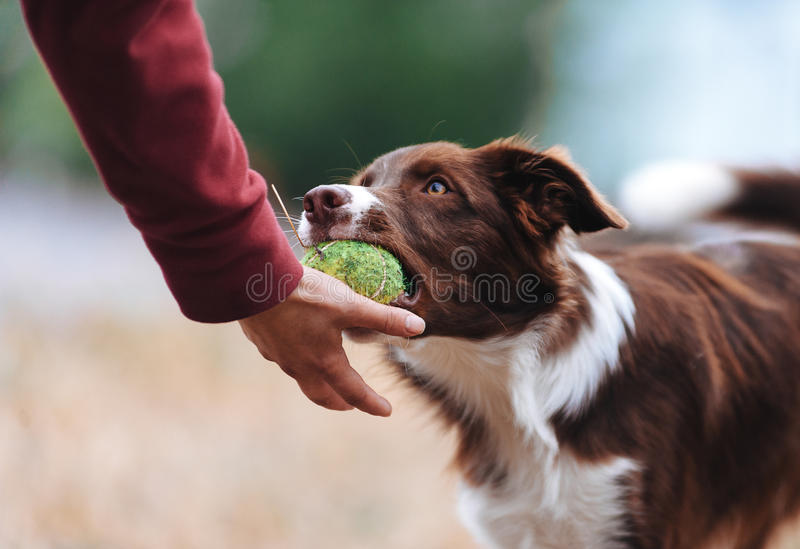 Brown border collie puppy brought the ball hostess and lays down his hand stock photography