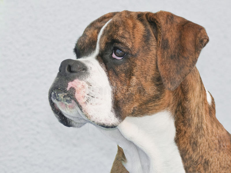 Brown Boxer royalty free stock photos