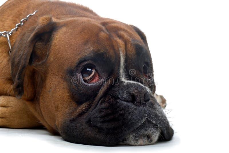Brown-Boxer lizenzfreies stockfoto