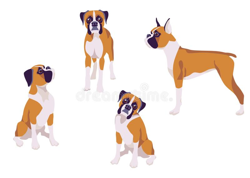 Boxer breed dog vector illustration in different poses vector illustration