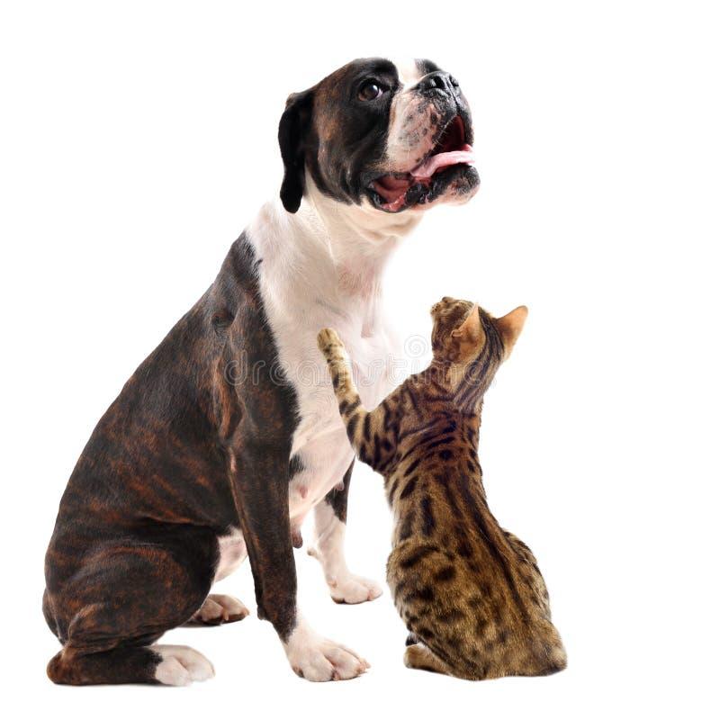 Brown-Boxer und Bengal-Katze stockfoto