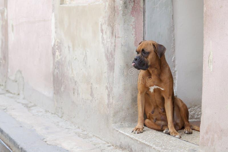 Brown-Boxerhund, der im Eingang mit seiner Zunge heraus haftet, untersuchend den Abstand sitzt stockbild
