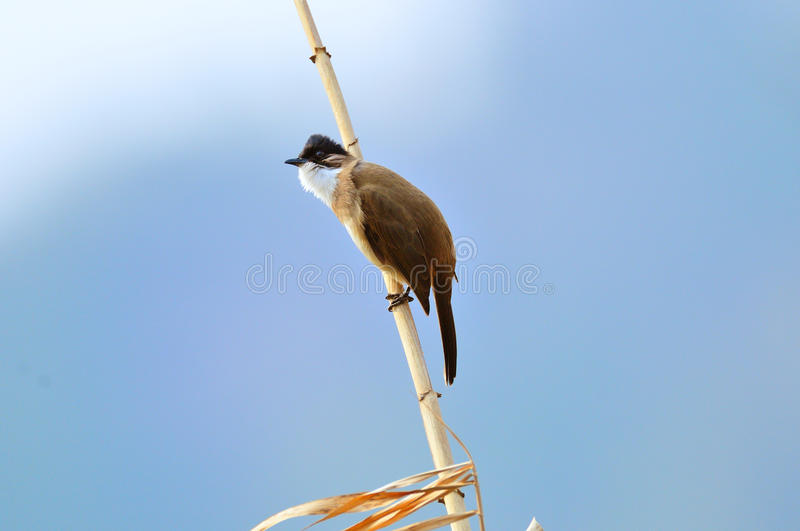 Brown-breasted bulbul stock photography