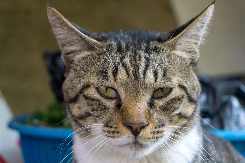 Brown brindle pattern cat with unequal eyes gazing something. Close up on his face stock images