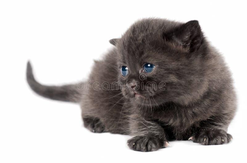 Download Brown British Kitten Royalty Free Stock Photos - Image: 20400638