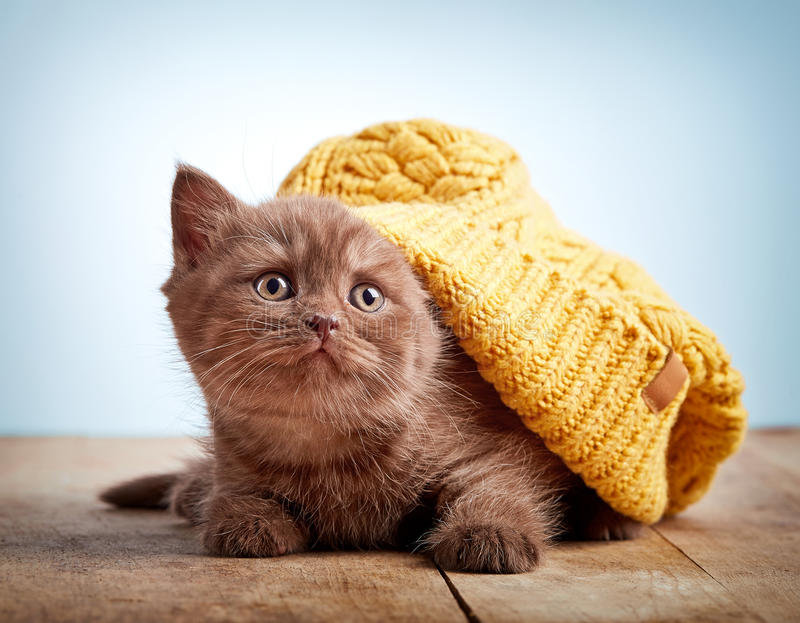 Brown british kitten in a knitted hat stock photo
