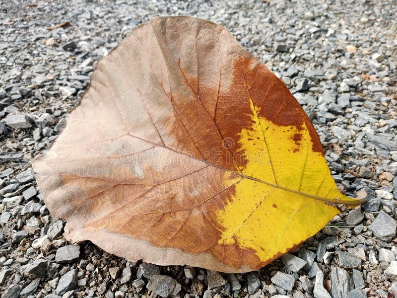 The brown-brown dry leaves fell on the rocky ground. The brown-brown dry leaves  on the rocky ground. Nature, natural, desktop, old, tree, leaf royalty free stock photography