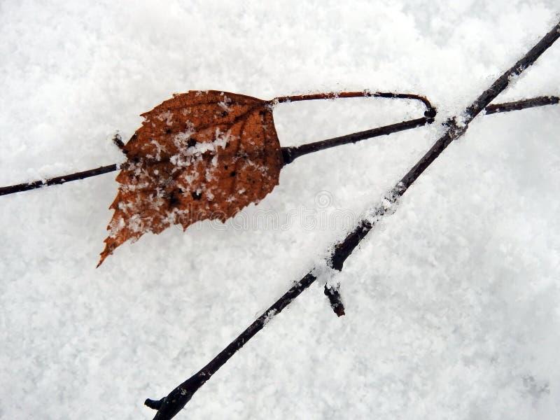Brown brzozy drzewo na śniegu, Lithuania fotografia stock