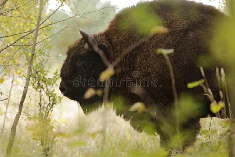 Brown Buffalo Closeup Photography Free Public Domain Cc0 Image