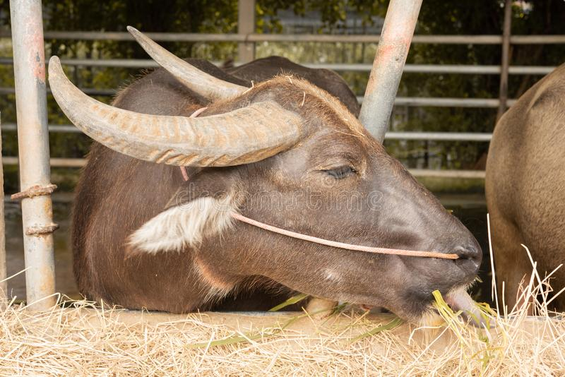Brown buffalo in the corral eating dry grass. side picture. royalty free stock photography