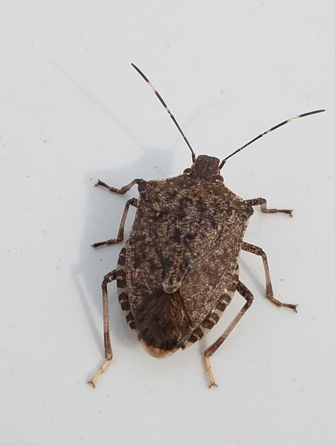 Brown Bug royalty free stock photo