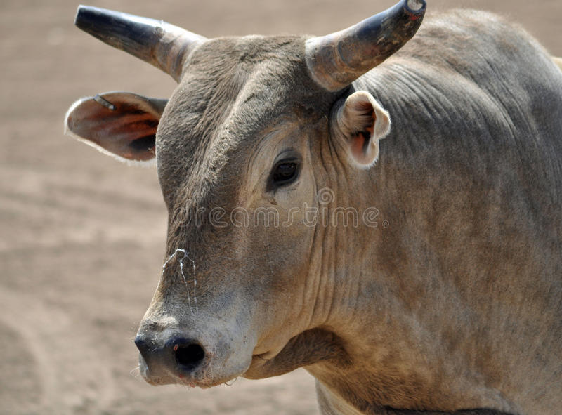 Brown Bull With Horns Stock Photo