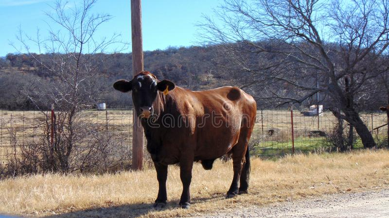 The brown bull stock images