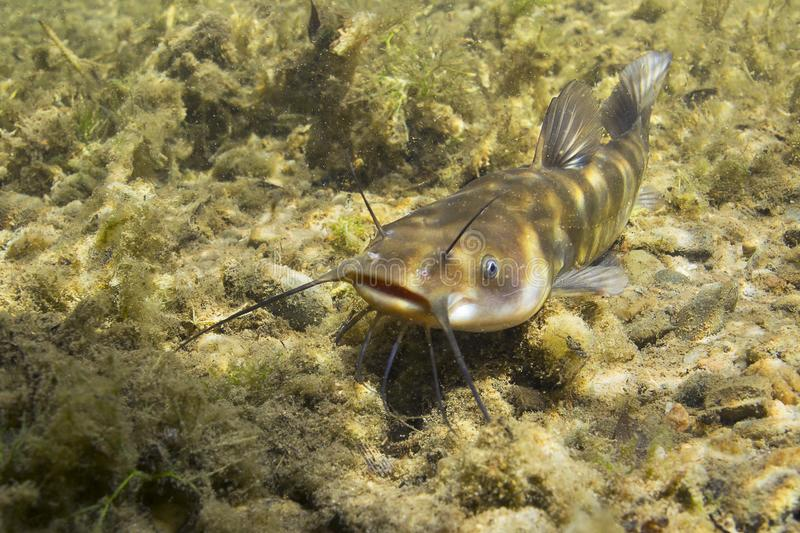 Brown Bullhead Catfish Ameiurus nebulosus underwater photography. Freshwater fish in clean water and nature habitat. Natural stock image