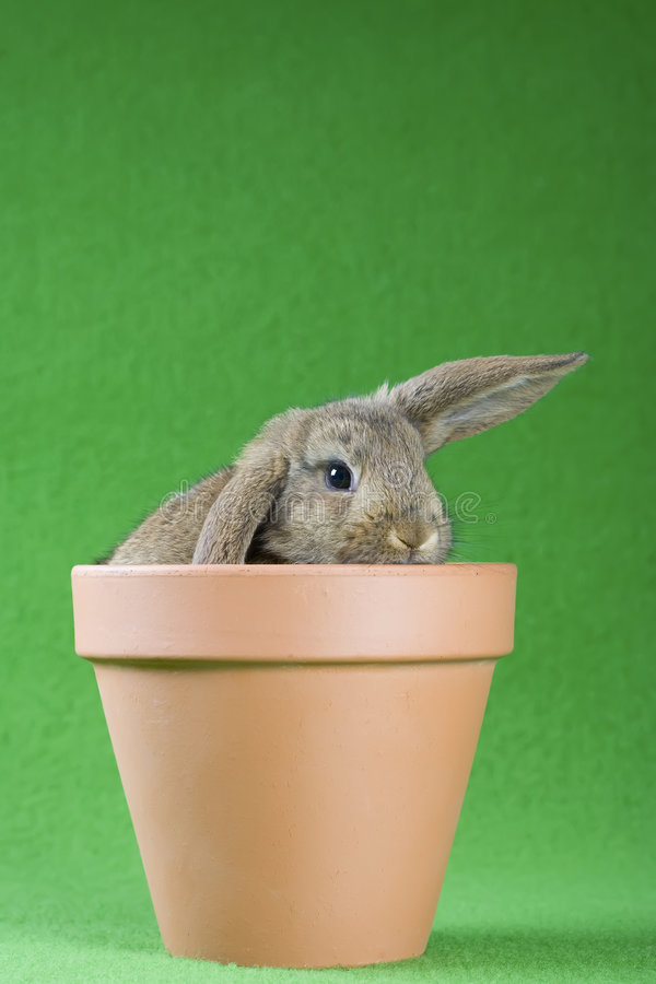 Free Brown Bunny In The Flower Pot, Isolated Royalty Free Stock Photography - 5634327