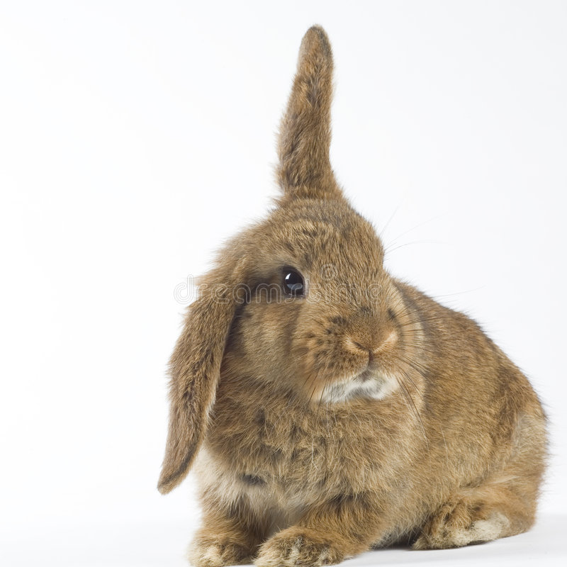 Brown Bunny, Isolated On White Background Stock Photo