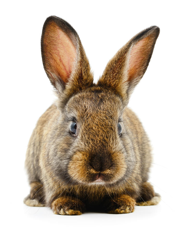 Free Brown Bunny Rabbit. Royalty Free Stock Image - 73607066