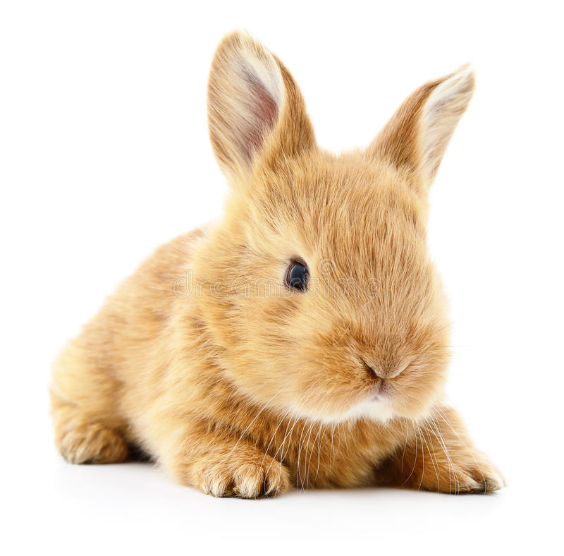 Free Brown Bunny Rabbit. Royalty Free Stock Photography - 78611297