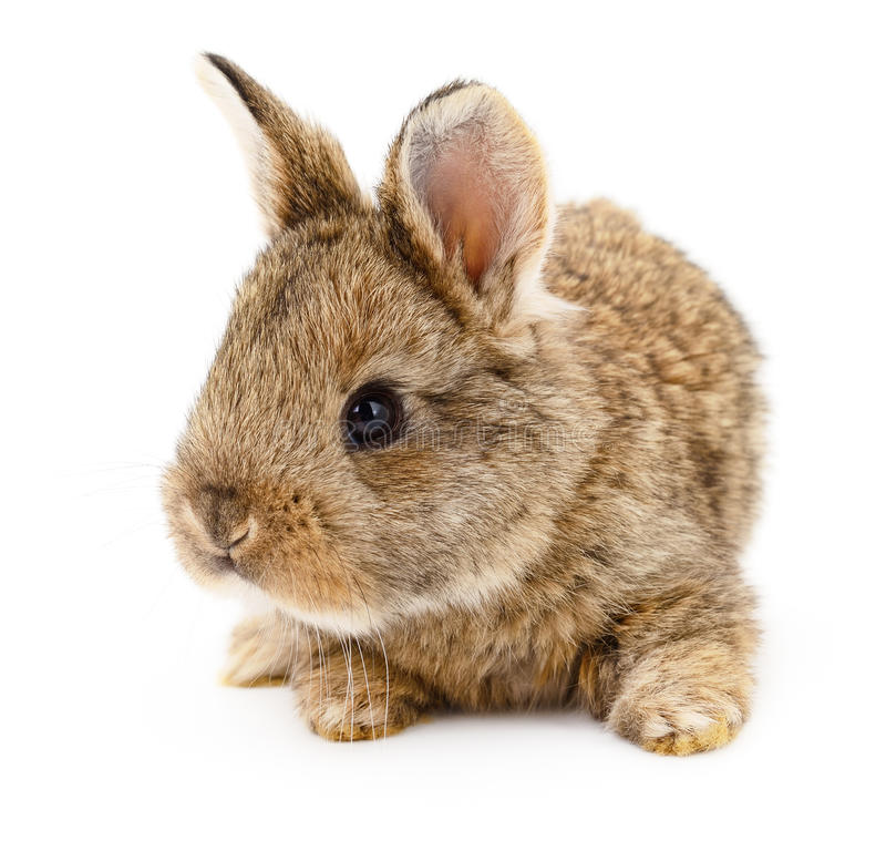 Brown bunny rabbit. Image of a brown bunny rabbit stock photos