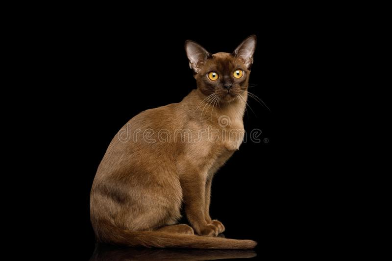 Brown burma cat isolated on black background royalty free stock image