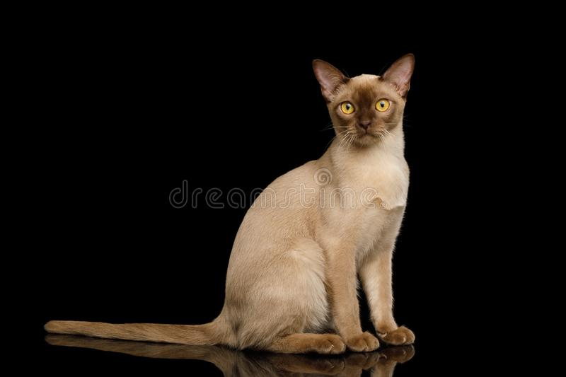 Brown burma cat isolated on black background. Adorable Brown Burma Cat Sitting and Curious Looking in Camera, isolated on black background royalty free stock photos